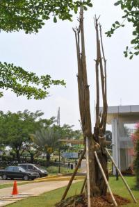 pohon pule di RST Dompet Dhuafa